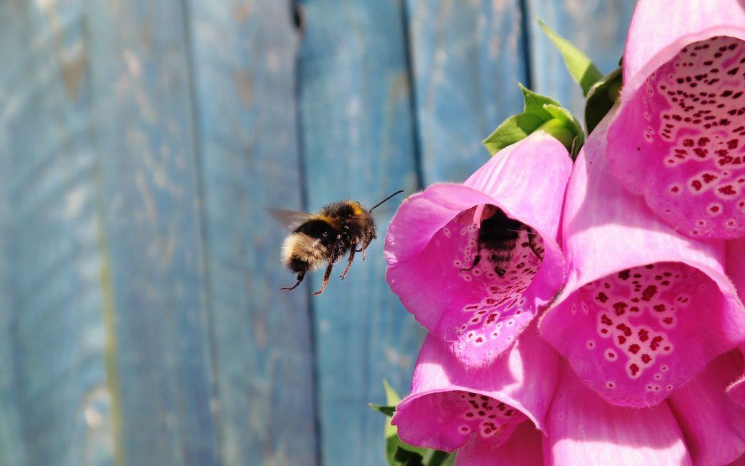 Le api in città