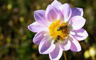 Come possiamo salvare le api?