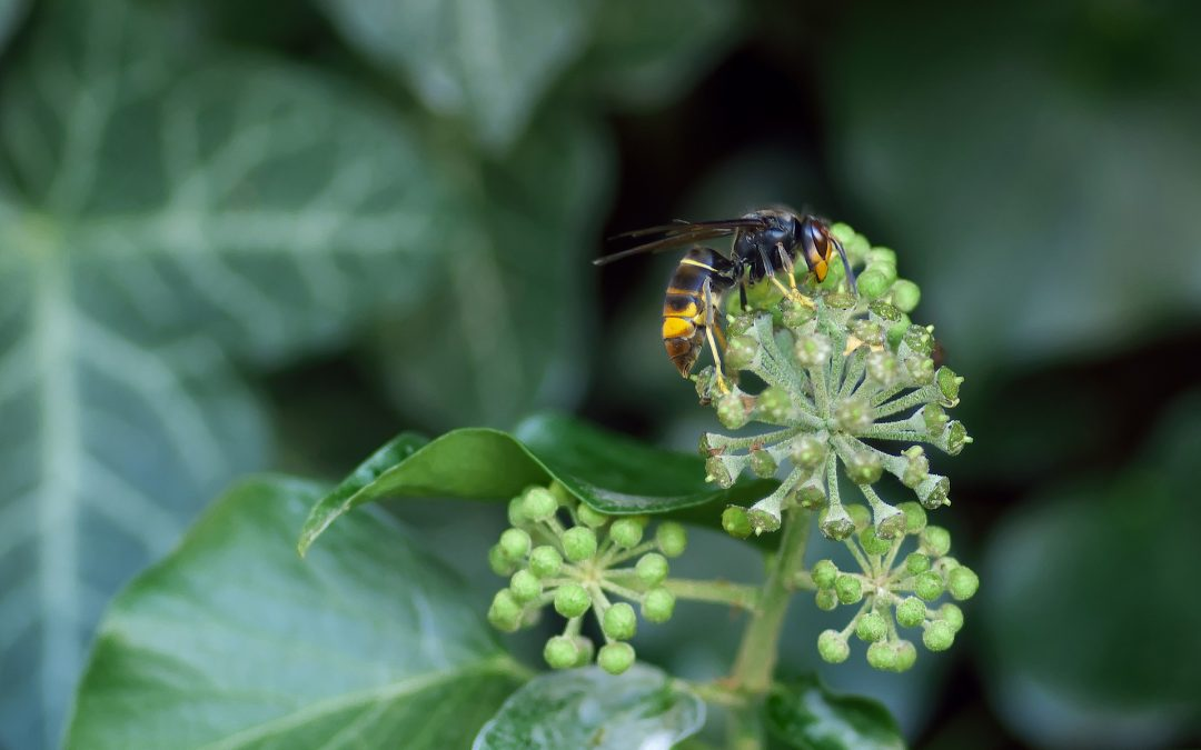 Il calabrone asiatico o vespa velutina