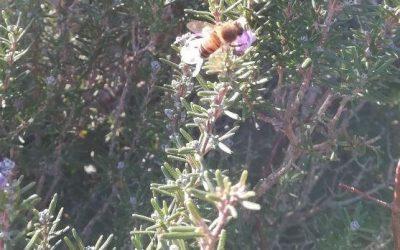 Il miele di rosmarino